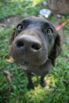 cross eyes Dogs And Puppies, Labrador Retriever, Eyes, Awesome, Funny, Cute, Pictures, Photography, Animals