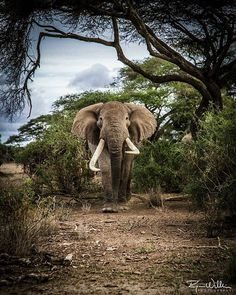 Magnificent elephant. .!! Credit : @ryan.wilkie.photos - It is almost a year to the day that I remember receiving the call that Tim had been injured for the 3rd time in as many years due to the ongoing conflict between people and elephants in the area around Amboseli National Park. A year later and Tim seems to have fully recovered from his injuries and looks to be bulking up again - thankfully he is staying outside the farms this time! For info about promoting your elephant art or crafts…