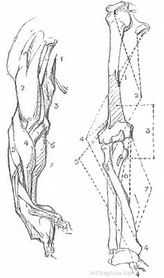muscles of the arm, drawing arms