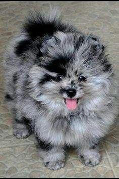 Blue Merle Pomeranian love this coloring so nice Dogs Puppy Hound Pups Dog Puppies Blue Merle Pomeranian, Teacup Pomeranian, Pomeranian Puppy, Pomsky, Pomeranian Colors, Animals And Pets, Baby Animals, Funny Animals, Pet Dogs