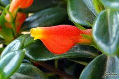 Detalhe da flor da Columéia-peixinho