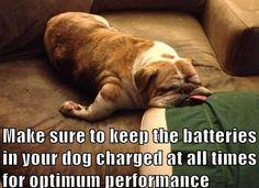 English Bulldog funny ~ Baggy Bulldogs
