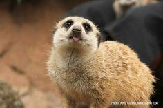 Cute Meerkat poking his tongue out