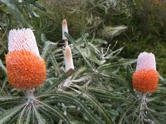 Gorgeous flowering banksias in the Hotel's gardens