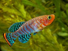Nothobranchius rachovii 9 by Peter M4, via Flickr