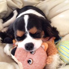 Teddy's asleep with his fox - EK, Tricolor Cavalier King Charles Spaniel