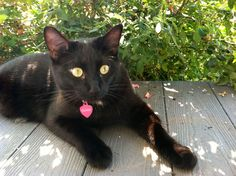 """From Amy... """"Handsome Ollie, he's absolutely irresistible!""""  Those eyes!    =^..^=  During October Cat Faeries is celebrating black cats. We will post pictures of our customer's gorgeous black cats on Pinterest, Facebook and in our newsletters.  And, we'll donate 1% of our October sales to several black cat rescue groups. You can find out more at www.catfaeries.com/blog/celebrating-black-cats-in-october/"""