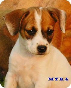 Border/boxer cutie in Statesville NC Adopt Me