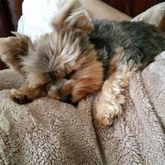 Yogi the Yorkie. Just plum tuckered out.