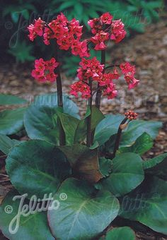 Having large glossy evergreen leaves that turn rosy red in winter, Bergenia 'Winter Glow', is a top choice for year round color.  The sturdy bloom stalks are to