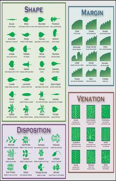 Leaves Name, Tree Leaves, Tree Leaf Identification, Rhododendron, Flowers Uk, Flowers Garden, Garden Plants, Illustration Botanique, Botanical Illustration
