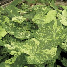 272 Best Plants Caladiums Images In 2018 Plants Shade