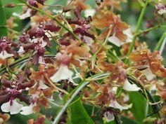 expo flores de holambra em salvador orquidea sherry baby