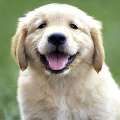 Love golden retrievers :-)