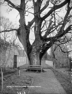 Bedell's Tree, Cavan, Co. Cathedral, Photographs, Trees, Plants, Tree Structure, Flora, Cathedrals, Plant, Ely Cathedral