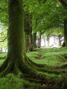 Árbol cubierto de musgo, Dartmoor, Inglaterra.