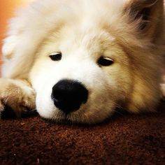 The life of a Samoyed puppy is so tiring!