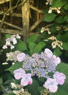 Rambling blue against a rustic fence in the Gunks in upper state this summer. Mohonk Mountain House, Rustic Fence, Blue Hydrangea, Plants, Summer, Summer Time, Plant, Planets