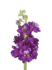 Purple stock flower- my dad's favourite!