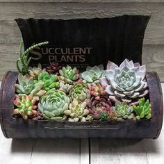 Growing succulents in a tin can. No tutorial, just an image to provide ideas for unusual containers to grow succulents. Propagating Succulents, Growing Succulents, Succulent Gardening, Succulents In Containers, Succulent Terrarium, Planting Succulents, Cool Succulents, Small Garden Fairies, Suculent Plants