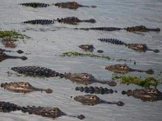 PALM BEACH COUNTY, Fla. - Alligators in South Florida seem to be thriving just fine during this historic dry weather.