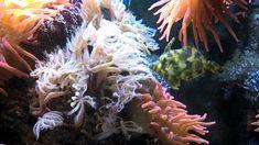 Acreichthys tomentosus  - this one likes aptasia