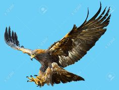 Golden Eagle Flying Swoop And Paint Color On Blue Background. Stock Photo, Picture And Royalty Free Image. Bird Of Prey Tattoo, Eagle Wallpaper, Eagle Drawing, Eagle Project, Eagle Pictures, Bird Sketch, Eagle Art, Eagle Tattoos, Australian Birds