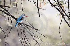 Photo about Woodland Kingfisher ( Halcyon senegalensis ) - Borakalalo National. Image of wild, national, game - 52218953 Kingfisher, Blue Jay, Woodland, Southern, Africa, Birds, Stock Photos, Animals, Image