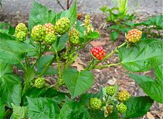 Really good, easy-to-understand directions for pruning blackberry bushes.