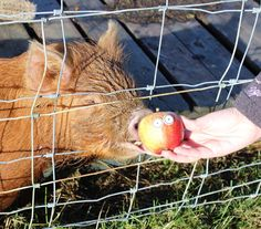 Not sure if putting edible eyes on an apple is really enriching Pickle the pigs life but its certainly fun!