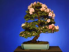 BONSAI:  Satsuki Azaleas have been bred and selected for over 300 years in Japan and are highly prized for their prolific and often varied flower colors.