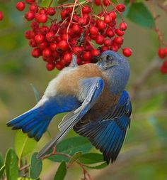 WESTERN BLUEBIRD, nope Eastern Bluebird