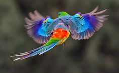 Red Rumped Parrot as a pet. Red rumps can be housed in a spacious cage but will need to have plenty of time outside of the cage, so therefore this is an option best suited to birds that have been raised wholly or substantially by humans.
