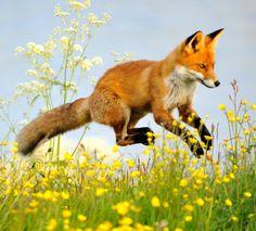 beautiful-wildlife:  Flying FoxbyHannu Koskela