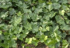 English Ivy #plants remove harmful chemicals from the air, but watch out for Spider Mites plus they are poisonous. HousePlant411.com
