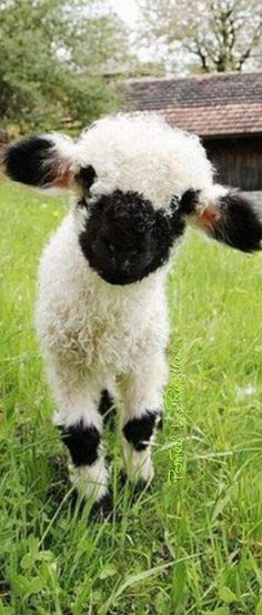 Regilla ⚜ The Unbelievably Cute Blacknose Sheep of Valais
