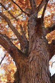 Lovely old white oak at the Blue Ridge Center for Environmental Stewardship in VA (photo: Leigh Scott) Adventure Photography, Oregon Coast, Outdoor Photography, Blue Ridge, Hiking, White Oak, Portraits, Colours, Sign