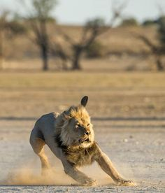 World Lion Day. Photography by © (Johan Barnard).On the move. Beautiful Cats, Animals Beautiful, World Lion Day, Animals And Pets, Cute Animals, Grand Chat, Lions Photos, Gato Grande, Cat Sketch
