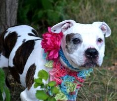 SAFE 8-1-2015 by Rebound Hounds --- SUPER URGENT Staten Island Center  BINDY – A1044972  FEMALE, BR BRINDLE, PIT BULL MIX, 8 yrs STRAY – STRAY WAIT, NO HOLD Reason ABANDON Intake condition EXAM REQ Intake Date 07/21/2015 http://nycdogs.urgentpodr.org/bindy-a1044972/