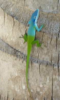 Green and Blue Anole Animals And Pets, Baby Animals, Cute Animals, Beautiful Creatures, Animals Beautiful, Reptiles Et Amphibiens, Geckos, Photo Animaliere, Komodo Dragon