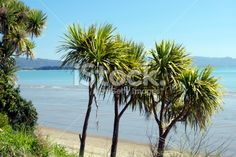 New Zealand Seascape with Cabbage Trees Royalty Free Stock Photo New Zealand Beach, New Zealand Landscape, Tree Images, Kiwiana, Photo Tree, Beach Fun, Native Plants, Beach Photos, Image Now