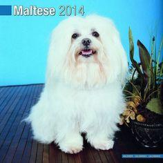 Maltese Dog Calendar 2014  http://www.maltese-care.com/maltese-dog-calendar-2014