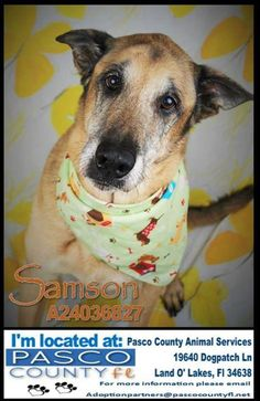 `Senior`  Samson (D3308) Pet ID: D3308 • Spayed/Neutered • Shots Current • Primary Color(s): Brown or Chocolate • Secondary Color(s): Yellow, Tan, Blond or Fawn • Coat Length: Medium  Pasco County Animal Services Land O Lakes FL