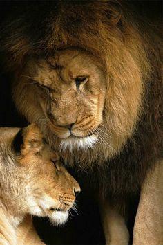 Lion Love(byStephen Oachs).