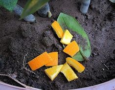 Image intitulée Use Citrus Fruit Peels in the Home and Garden Step Orange Peels Uses, Garden Steps, Reduce Waste, Amazing Gardens, Grapefruit, House Plants, Outdoor Gardens, Remedies, Avocado