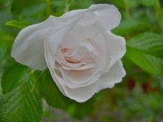 White Rugosa Rose   Flickr - Photo Sharing!