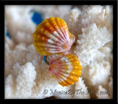 double sunrise shell - Google Search