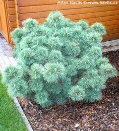 """Pinus strobus (""""Nana"""")"""