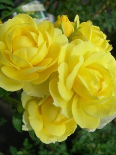 'Golden Border' | FL rose. Bred by Verschuren (Netherlands, 1993). Introduced in France by Meilland International in 1993