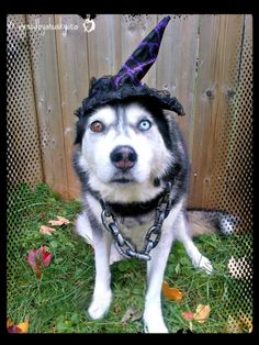 Huskies In Costume! All Ready For Halloween